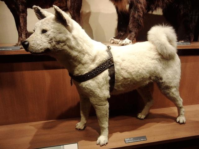 Hachiko tại bảo tàng khoa học quốc gia, Tokyo