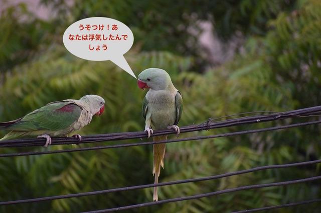 parakeets-2505547_960_720 (1).jpg